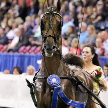 horse wearing the winning ribbon in the Horse Show arena
